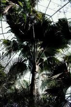 Rare Palm