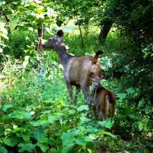 Sambhar Deer