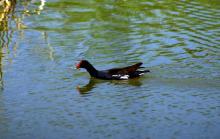 Marsh Hen