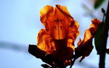 Rohida Flower