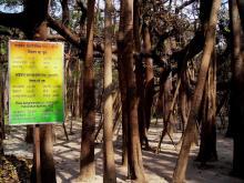 Massive Banyan
