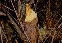 Beaver Bitten FB