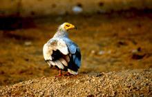 Pharaoh S Chicken
