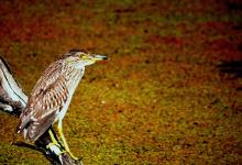 Female Night Heron