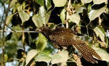 Female Koel