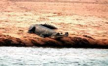 Gharial Crocodile
