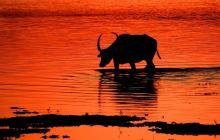 Wild Buffallo