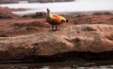 Duck on Sand bund