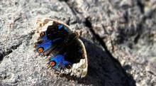 Moth Eaten Butterfly