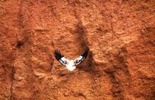 Vulture on Rockface