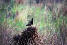 Black francolin