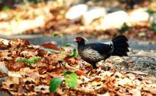 Kalij pheasant