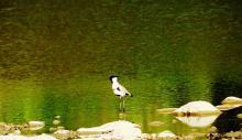 River lapwing